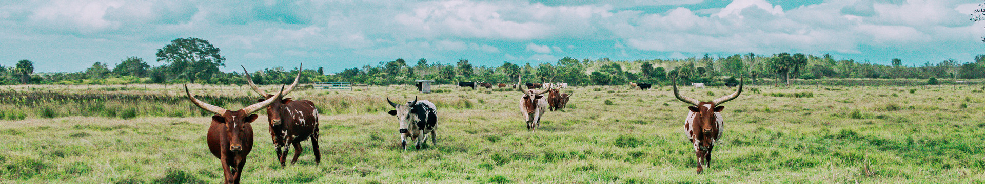 Cows in a field - Westgate Resorts