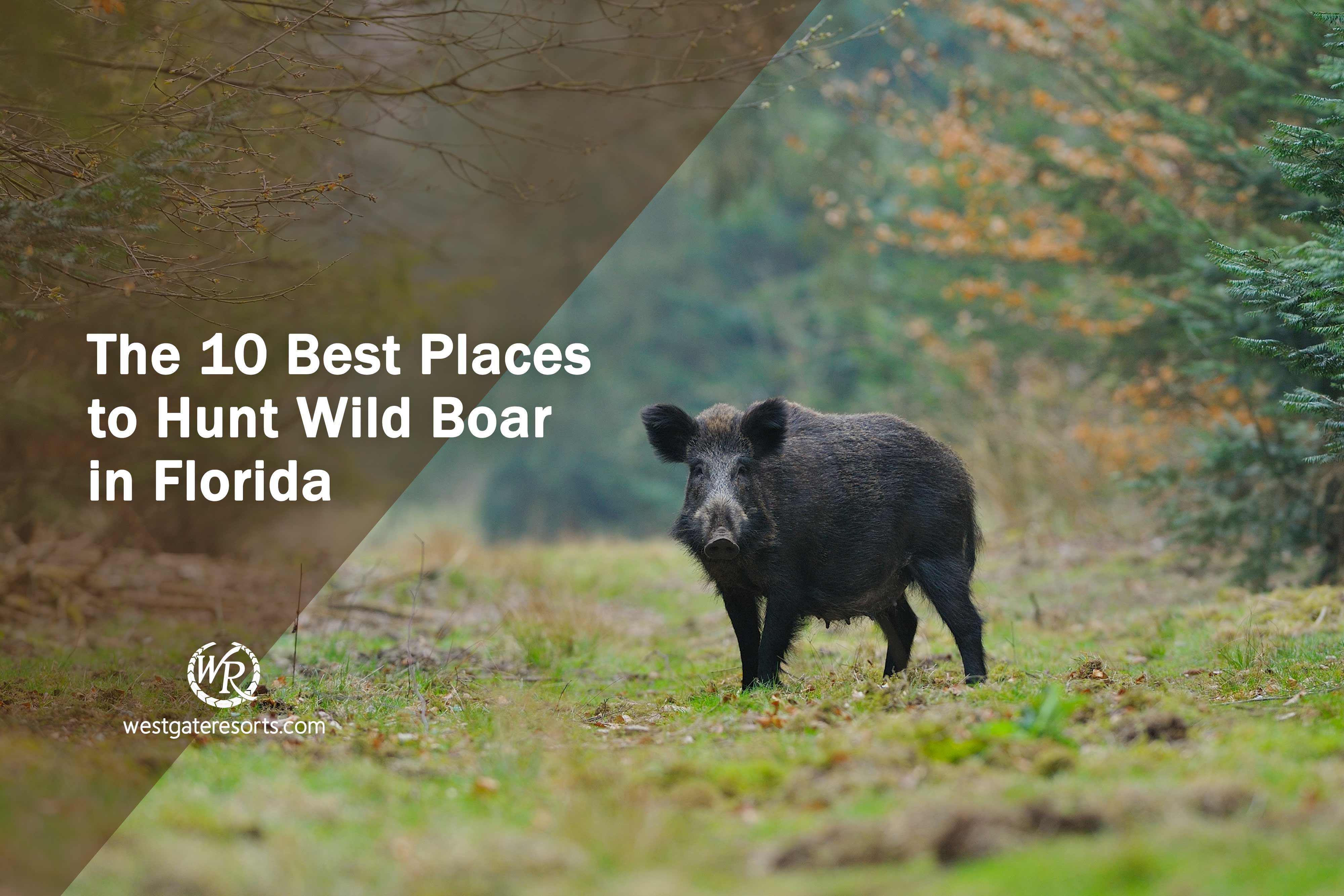 The 10 Best Places to Hunt Wild Boar in Florida